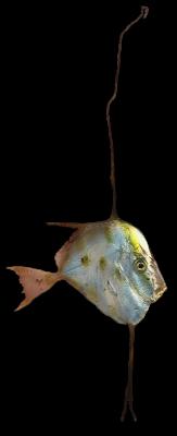 Flathead-larva