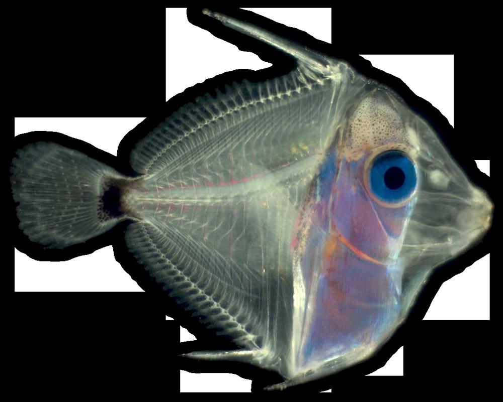 bluetang-larva
