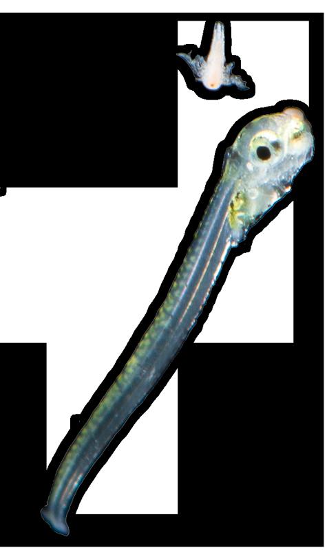 menidia-larva