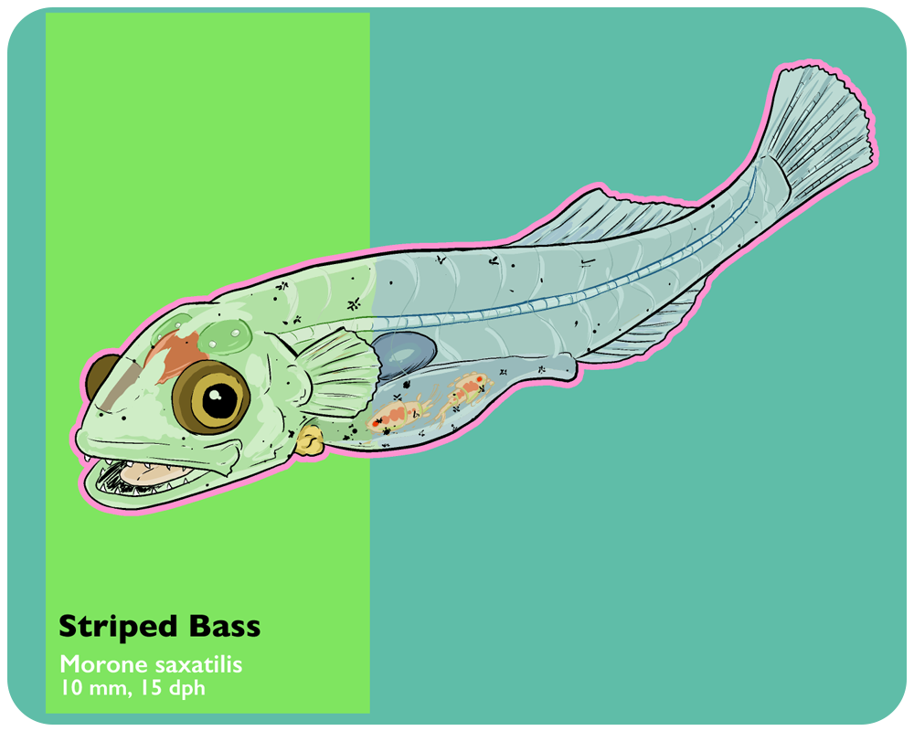 B03---Morissette_art_striped_bass_larvae1