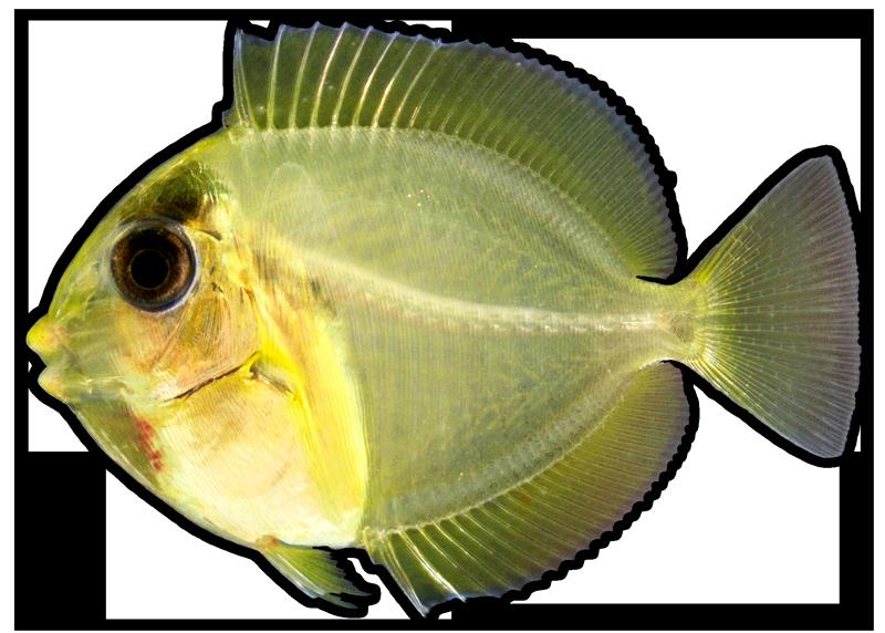 Acanthurus-coeruleus